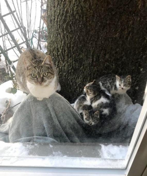 Животные: Отчаянная мать в мороз принесла котят к людям