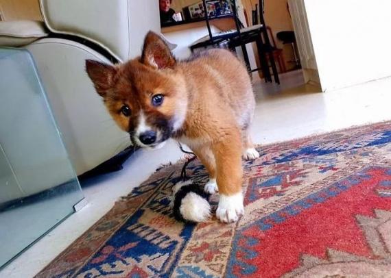 Блог Cfybnfh_ktcf1: В Австралии на задний двор одной семьи с неба упал щенок